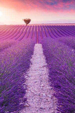 Buissons de lavande violette.Belles couleurs champs de lavande pourpre près de Valensole, Provence en France, Europe