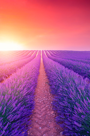 Violet  lavender bushes.Beautiful colors purple lavender fields near Valensole, Provence in France, Europe Archivio Fotografico