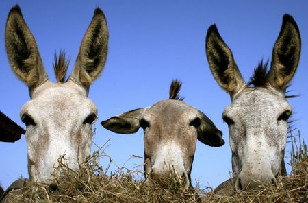 bonaire: Three Donkeys