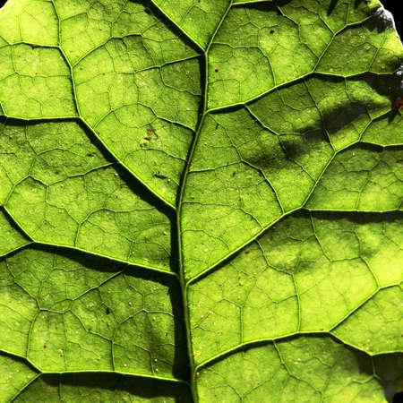 半透明の葉