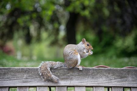 eekhoorn kauwen een moer Stockfoto