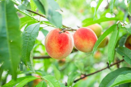 Close up Picture of the red riped peaches on the peach tree or in the organic farming orchard or home garden in summer