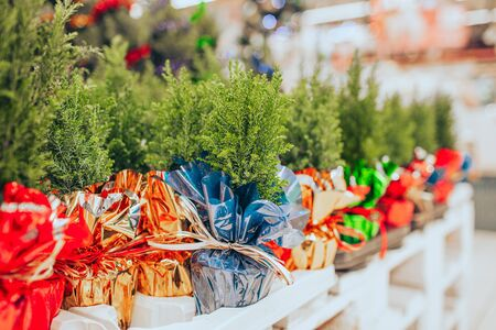 Small seedlings of thuja in different colors in pots are sold in the store on Christmas and new years eve.
