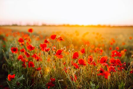 Red poppies field at sunset. Soft focus