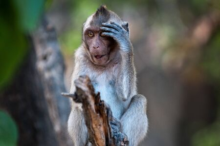 disbelief:   Oh dear  - expression of disbelief from a Macaque monkey in Sam Roi Yot National Park, Thailand  Stock Photo