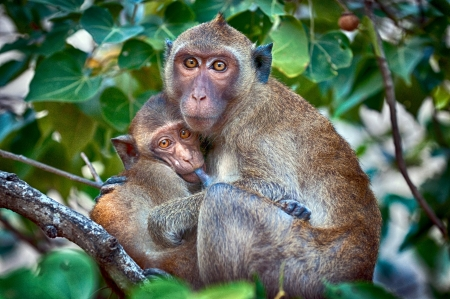 suckle: Comfort in the jungle - macaque mother nursing her baby Stock Photo