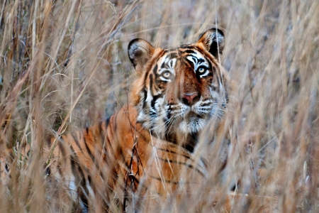 Wild Bengal tiger in Ranthambore National Park, India Stock Photo