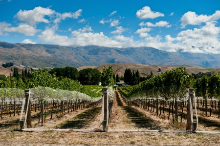 Vineyard in Gibbston Valley, Otago, New Zealand photo
