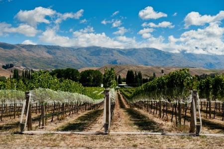 Wijngaard in Gibbston Valley, Otago, Nieuw-Zeeland Stockfoto