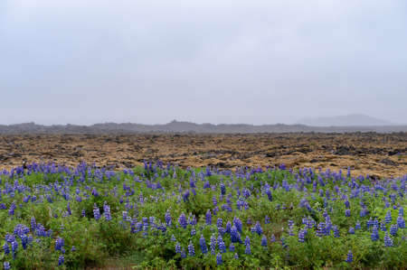 lupins: Lupins growing in barren Icelandic landscape on Reykjanes Stock Photo