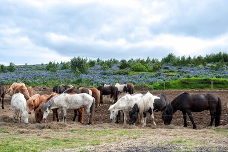 Herd of Icelandic horses grazing outside Reykjavik in Iceland photo