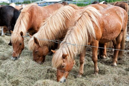 Icelandic horses grazing outside Reykjavik in Iceland photo
