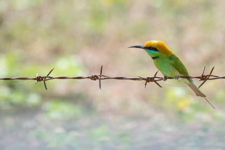 Little Green Bee-eater resting on rusty barbed wire in Prachuap Khiri Khan, Thailand photo