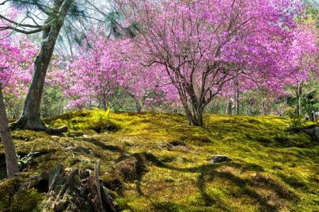 cerezos en flor: Primavera en Jap�n - jard�n de musgo japon�s con flores de cerezo en Arashiyama, Kyoto