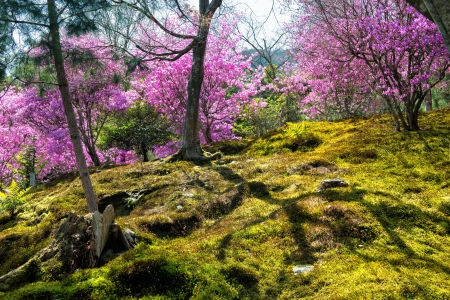 Spring in Japan - Japanese moss garden with cherry blossoms in Arashiyama, Kyoto photo