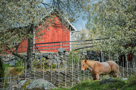 Springtime in Sweden - Ardennes horse enjoying a sunny day in early May photo