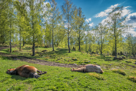 Springtime in Sweden - Ardennes horses resting on a sunny day in early May photo