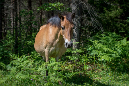 Gotland pony grazing in the forest at Lojsta heath  These horses, also called Gotland russ, belong to the only semi-feral breed in Sweden  photo