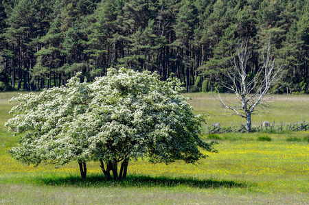 withering: Conceptual image of thriving and wilting trees illustrating opposites like life and death, rich and poor, flourishing and lean Stock Photo