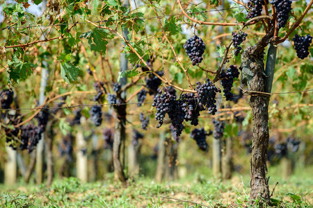 Sangiovese grapes in Montalcino, Italy. Фото со стока