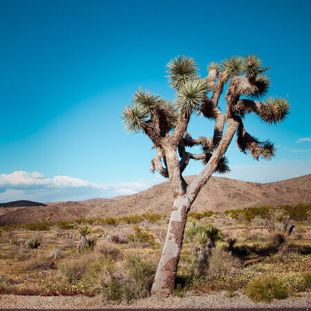 joshua tree national park: Joshua Tree in Joshua Tree National Park, California