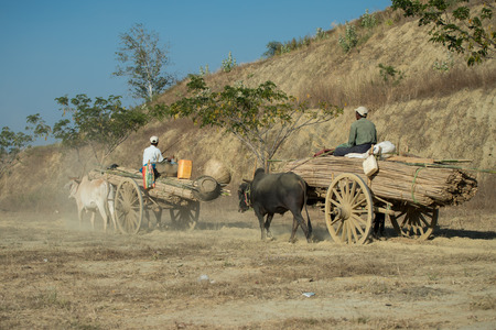ethnically diverse: Bagan, Myanmar - February 6, 2014: Burmese oxen pull carts with heavy loads outside Bagan. Myanmar is ethnically diverse with 135 ethnic groups with many of them living a rural life. Editorial