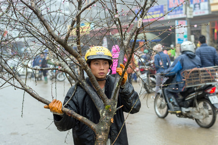 Sapa, Vietnam - February 13, 2015: Vietnamese man carries a peach trees on a rainy day in Sapa. Vietnamese people traditionally decorate their homes for the Chinese New Year with a peach tree or a citrus fruit tree. Editorial