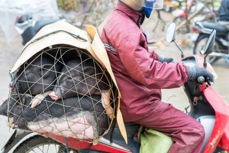 cultural diversity: Sapa, Vietnam - February 13, 2015: Vietnamese man transports piglets on a motorbike at the market in Sapa. Sapa is famous for its rugged scenery and its rich cultural diversity.