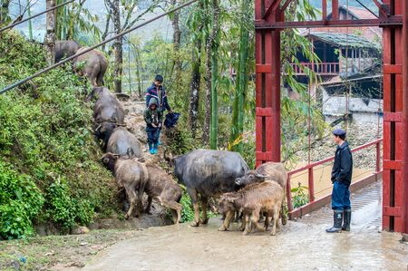rugged man: Sapa, Vietnam - February 13, 2015: Vietnamese man herds water buffalos in a village outside Sapa. Sapa is famous for its rugged scenery and its rich cultural diversity.