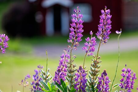 lupines: Summer in Sweden ? lupines blossoming during early July in the Swedish folklore district Dalecarlia. Stock Photo