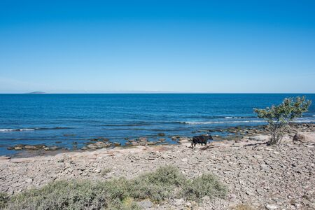oland: Cow on the beach on northern Oland and the Baltic Sea with island Blue Virgin. Oland is a popular tourist destination in Sweden. Stock Photo