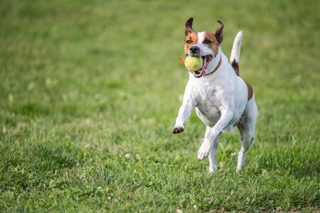 fetch: Danish Swedish Farmdog playing fetch with a tennis ball. This breed, which originates from Denmark and southern Sweden is lively and friendly. Stock Photo