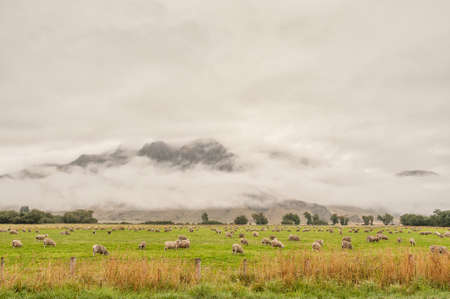 anau: Sheep farming in the countryside in the vicinity of Te Anau on the west coast of South Island, New Zealand Stock Photo