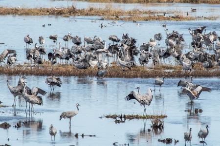 llegar tarde: Cranes at Lake Hornborga during migration at springtime in Sweden. During its peak late March â?? early April up to 20000 cranes can be counted daily.