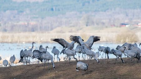 llegar tarde: Cranes at Lake Hornborga during migration at springtime in Sweden. During its peak late March – early April up to 20000 cranes can be counted daily.