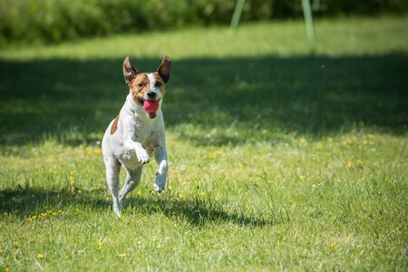 Danish Swedish Farmdog playing fetch with a ball. This breed, which originates from Denmark and southern Sweden is lively and friendly. Stock Photo