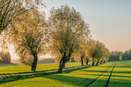 Tree lined avenue in the countryside of Vikbolandet during a spring evening in Sweden. Springtime in Sweden is fresh, green and flowering with long bright days.