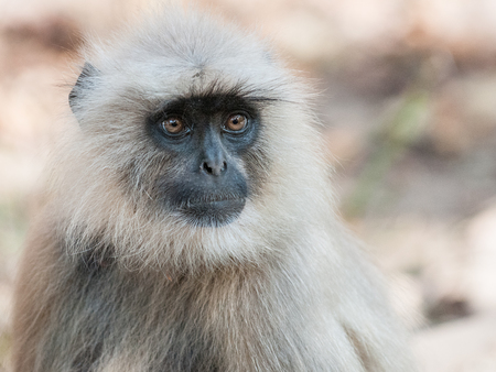 Portrait of a Gray Langur in Ranthambore National Park in Rajasthan, India Stock Photo