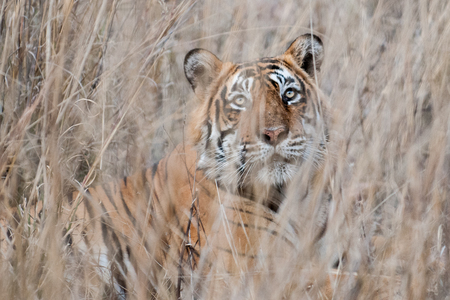 Bengal tiger in Ranthambore National Park in Rajasthan, India
