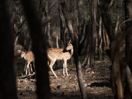 Chital in Ranthambore National Park in Rajasthan, India