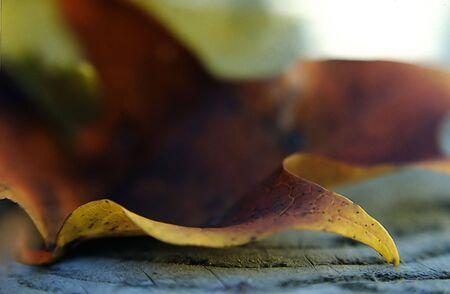 Autumn Leaf on Wood Banque d'images