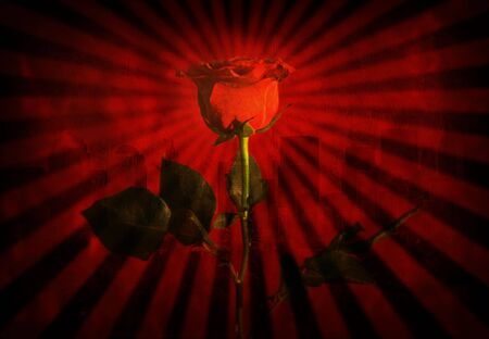 brilliancy: Red Rose Stock Photo
