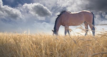 chestnut male: Horse grazing in field