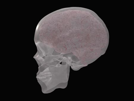 cerebra: Brain revealed in transparent skull