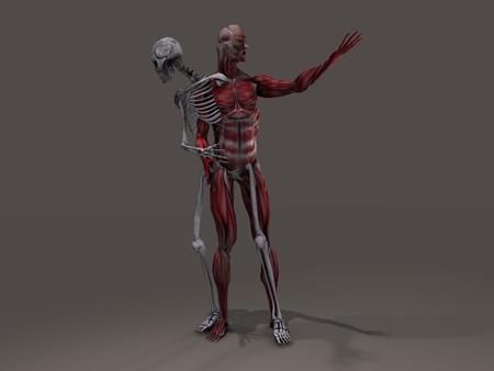 musculature: Inner skeleton and musculature man divide