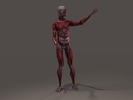 musculoskeletal: Male Musculature in Action