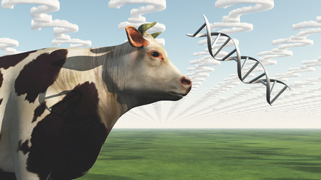 genetically modified crops: GMO Cow Question