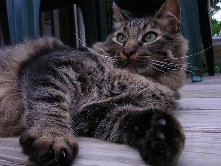 Beautiful striped lying cat. Green eyes