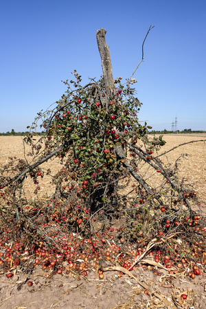 Crooked broken tree with red mellow apples and windfalls fruits with horizon and blue sky - concept harvest season time fresh organic food nature environment climate change fruit windfalls starvation