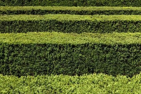 Green hedge in horizontal rows edgewise from above - concept maze geometric nature public park topiary garden art abstract structure pattern symmetry labyrinth decorative ornamental season background